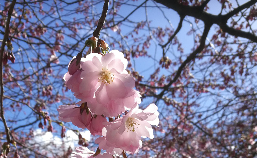 Kirsikankukat